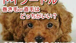 トイプードル 巻き毛 直毛 どっち 成犬 毛質 変化